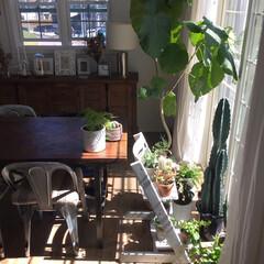 グリーンのある暮らし/ダイニング/サボテン/観葉植物/植物/インテリア/... 台風が過ぎ去った後の季節外れの夏日☀️ …