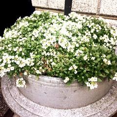 花/春/リメイク/再利用/お釜/へっついさん/... 古民具には可憐な白い花が似合います。 昔…