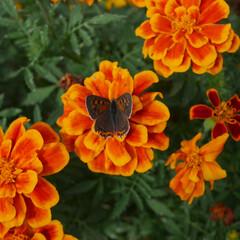マリーゴールド/お花/おでかけ マリーゴールドのお花を見つめていると、ち…
