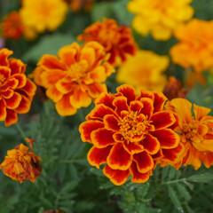 マリーゴールド/お花/おでかけ マリーゴールド❤️大好きなお花🌼本当綺麗…