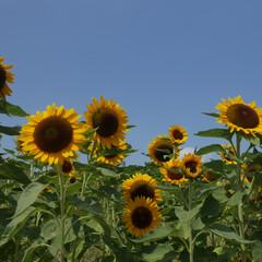 ひまわり畑/ひまわり/夏/花/空 ひまわり見に行きました🌻🌻🌻  暑い暑い…