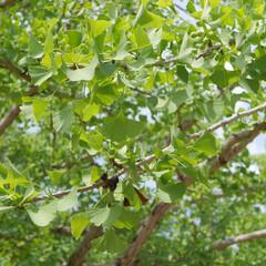 イチョウ/LIMIAおでかけ部/おでかけ/おでかけワンショット 秋に黄色くなったイチョウは、綺麗だから見…