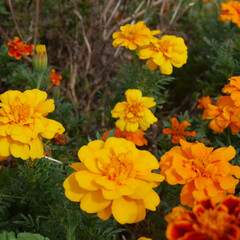 マリーゴールド/お花/おでかけ どんぐりばかりなので、きれいなお花も載せ…