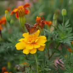 マリーゴールド/お花/おでかけ マリーゴールド×ちょうちょ✨イエローバー…
