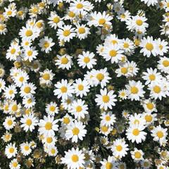 お花/デイジー/おでかけ/おでかけワンショット デイジー🌼が一面に咲いていて、癒されまし…