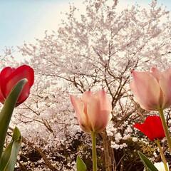 チューリップ/桜 春♡