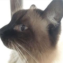 ペット/うちの子/猫/ねこ/しぃちゃん 横顔も男前なんですฅ( ̳• ·̫ • …