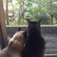 ラブリー/おデブ猫/くぅちゃん/しぃちゃん/ねこ/猫/... 寄り添う男前たち。