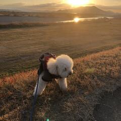 わんちゃん/いぬ/犬/癒し系/景色/夕焼け景色/... ぼくの散歩