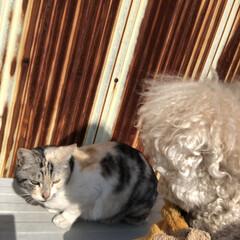 三毛猫/トイプードルアプリコット/トイプードル/トイプー/令和の一枚/フォロー大歓迎/... こんにちは  仲良しだよ。🐶🐱