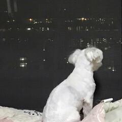 お気に入りの場所/イヌ/ペット/LIMIAペット同好会/わんこ同好会/うちの子ベストショット くぅの大好きな時間✨ 夜景を見るのが大好…