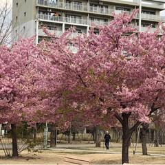 風景/小さい春 近所の公園、ソメイヨシノはこれからですが…