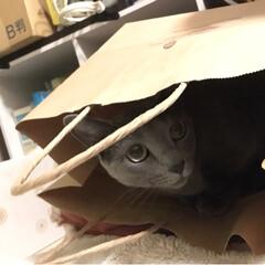 紙袋/ペット/猫 バレてニャイカナ❓😸 バレてるよ🙀 ガサ…