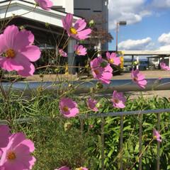 花/コスモス/秋 柵の中からこんにちは ゆらゆら風に揺れる…