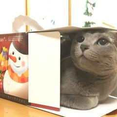 クリスマス/ペット/猫/にゃんこ同好会/お気に入り メリークリスマス🎄✨❣️ 箱の中に入って…
