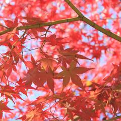 紅葉/モミジ/秋/風景 びわ湖文化公園のモミジです。 青空に映え…