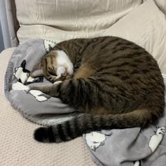 うちの猫/にゃんこ同好会 おかぁしゃんのひざ掛けは僕のもの… 僕の…(1枚目)