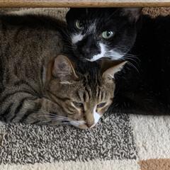 ホットカーペット/うちの猫/にゃんこ同好会 ホットカーペットの季節到来😊 にゃーんず…