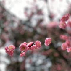 お出かけ/春/梅の花/ひな祭り/ピンク/おでかけ/... 春はもうすぐ