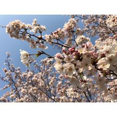 春休み/春/お散歩/お花見/桜/春のフォト投稿キャンペーン/... おばさんぽ♪ 夕方でも暑いくらいでした。