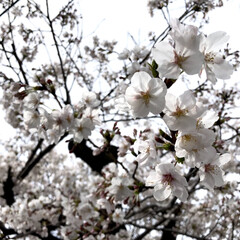 お散歩/桜/春休み/春のフォト投稿キャンペーン/フォロー大歓迎/おでかけ/... 昨日今日は地域の小中学校の入学式🌸 皆さ…