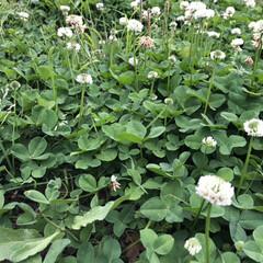 シロツメグサ/お散歩/おさんぽ/ウォーキング/令和の一枚/フォロー大歓迎/... シロツメグサ 子供の頃よく花かんむり作り…