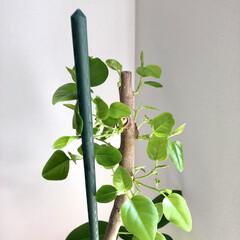 green/グリーン/観葉植物/植物/令和元年フォト投稿キャンペーン/令和の一枚/... ニョキニョキ新芽🌱🌱🌱② 数週間前思い切…