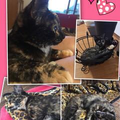 ネコちゃん ウチのサビ猫クマ🐻 最近、ヒョウ柄に見え…