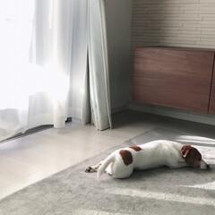 リビング/ペット/犬/住まい/収納 我が家のジャックラッセルテリア♀家具と同…
