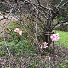 季節外れ/桜 ニュースでよく言ってた 季節外れの桜🌸 …