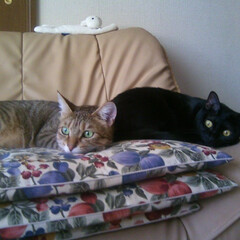 ペット/猫/にゃんこ同好会 キジトラの子が杏です。黒猫ちゃんが真瑠で…(1枚目)