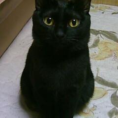 黒猫/LIMIAペット同好会/ペット/ペット仲間募集/猫/にゃんこ同好会/... お行儀良く おすわり♪  ジー( ⚭-⚭…