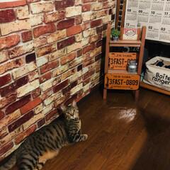 壁紙シート/ベストショット/ペット/猫/インテリア マイルームの壁… オレオฅ^•ﻌ•^ฅが…(2枚目)