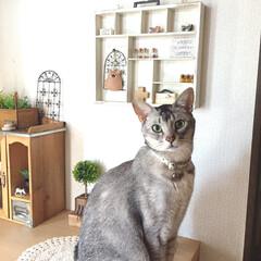 オス猫/猫/猫と暮らすインテリア/フォロー大歓迎/LIMIAペット同好会/にゃんこ同好会/... 玄関でお出迎え!