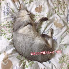 猫部/にゃんこ/猫の寝顔/LIMIAペット同好会/フォロー大歓迎/ペット仲間募集/... 寝たふりをするうちの猫😆