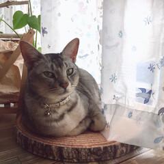 色気を出す猫/ニャン部/Instagramもやってます/LIMIAペット同好会/フォロー大歓迎/ペット仲間募集/... 色気を出すユキさん😆
