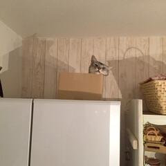 猫仲間募集/ダンボール大好き猫/冷蔵庫の上の猫/オス猫2歳/ニャン仲間募集/にゃんこ/... 冷蔵庫の上は誰にも邪魔されない(=^・ω…