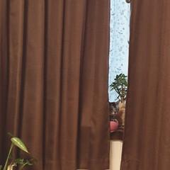 カーテンの隙間から/猫/窓辺の猫/ニャンテリア/猫派/フォロー大歓迎/... カーテンの隙間から😆