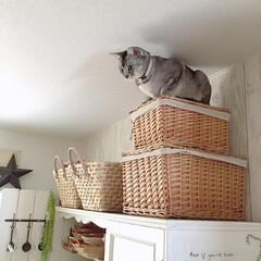 上から目線/カゴ収納/キッチン収納/オス猫/LIMIAペット同好会/フォロー大歓迎/... 今日も見られてますฅ'ω'ฅ