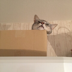 猫仲間募集/ダンボール大好き猫/冷蔵庫の上の猫/オス猫2歳/ニャン仲間募集/にゃんこ/... 冷蔵庫の上は誰にも邪魔されない(=^・ω…(3枚目)