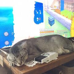 どこでも寝る/猫/フォローありがとうございます/猫派/フォロー大歓迎/LIMIAペット同好会/... どこでも寝る奴ꉂꉂ(๑˃∀˂๑)