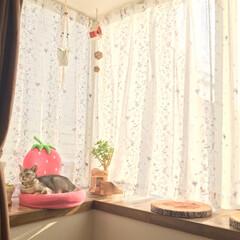 猫と暮らすインテリア/出窓と猫/猫/フォロー大歓迎/LIMIAペット同好会/にゃんこ同好会/... 夕日で窓辺がポカポカ♪ ゆきさんも気持ち…
