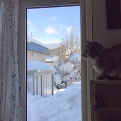 窓際の猫/ニャルソック/ニャン仲間募集/LIMIAペット同好会/フォロー大歓迎/はじめてフォト投稿/... 窓の外は雪だらけ。まだまだ溶けそうにもあ…