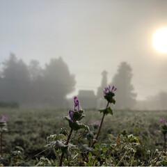 菊の花/霧/風景 今日の朝は霧 神秘的な風景に思わずシャッ…