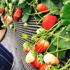 BRUNO/ジェラート/育成会/スカイベリー/食べ放題/イチゴ摘み/... 今年度最後の日🍓 本日は育成会のお楽しみ…