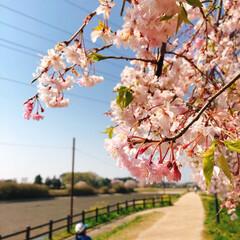 散歩/コロナに負けるな/がんばれ日本/大沼公園/桜 まだ、桜が咲き残ってます🌸散っている桜も…