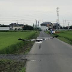 コウノトリ 7月16日  大接近!! 運良く、コウノ…(4枚目)