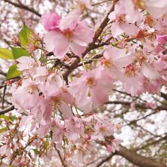 暇つぶし/お家で過ごそう/コロナに負けるな/がんばれ日本/悪魔おにぎり/エスボード/... 思川桜まだなんとか咲いてました🌸 少しピ…