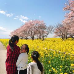 コロナに負けるな/がんばれ日本/お花見/菜の花/桜 桜が咲きました🌸  菜の花と桜のコラボ写…