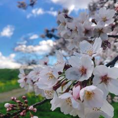 桜/修了式/菜の花/散歩 🌸お花見🌸  いつもの散歩コース🚶♀️…